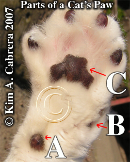 Parts of a cat's paw. Bones the cat. Photo copyright by Kim A. Cabrera 2007.