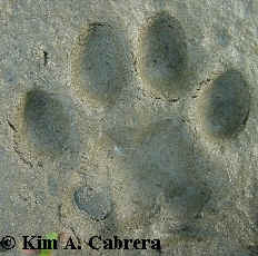 Perfect tracks of a domestic cat (Bones). Perfect tracks like this are rare. Photo by Kim A. Cabrera 2002.