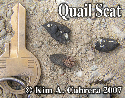 Quail scats. Photo copyright by Kim A. Cabrera 2007.