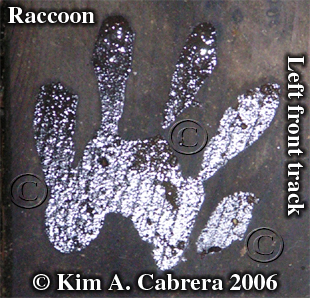 Raccoon track on wood. Wet hand. Photo copyright by Kim A. Cabrera 2007.