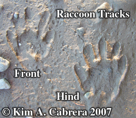 Pair of raccoon tracks in mud. Photo copyright by Kim A. Cabrera 2007.