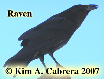 Raven photo by Kim A. Cabrera. Copyright                       2007. Do not use without permission.