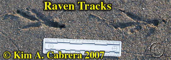 Raven tracks. Photo by Kim A. Cabrera 2007.