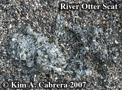 River otter scat. Photo � Kim A. Cabrera 2007.