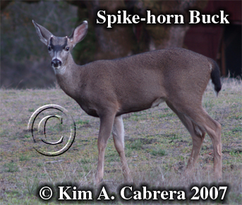 Spike horn buck. Photo � Kim A. Cabrera 2007