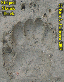 Striped skunk track. Photo by Kim A. Cabrera 2007.
