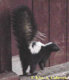Striped skunk. Photo by Kim A. Cabrera 2002.