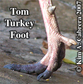 Tom turkey foot. Photo copyright by Kim A. Cabrera 2007.