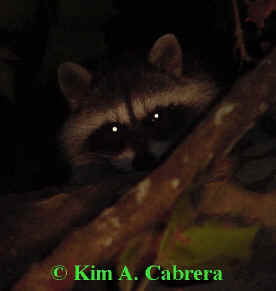 Treed raccoon. Photo by Kim A. Cabrera 2002.