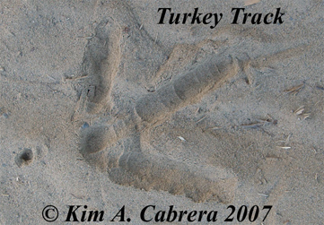 wild turkey track photo by Kim A. Cabrera 2007.