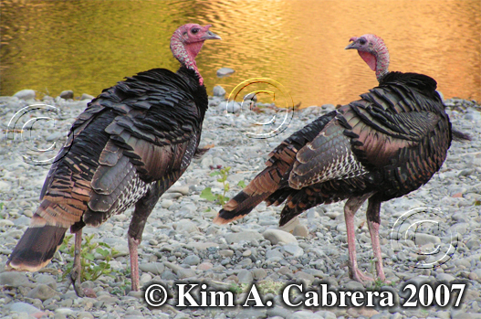 Two turkey gobblers visit the Eel River for a                     drink. Photo copyright by Kim A. Cabrera. 2007