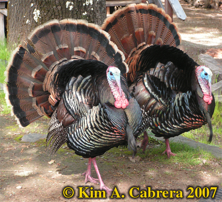 Wild turkey pair. Photo � Kim A. Cabrera 2007