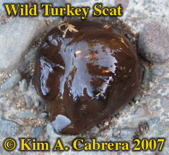 Wild turkey formless scat. Photo � Kim A. Cabrera 2007