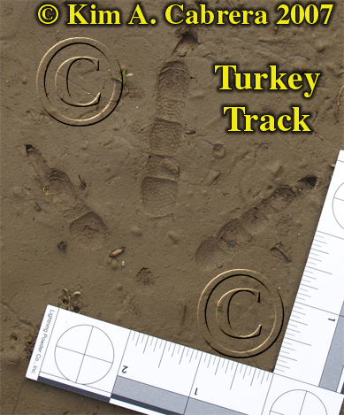 Wild turkey track. Photo by Kim A. Cabrera 2007.