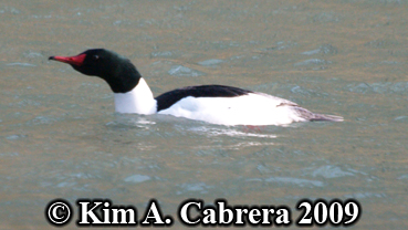 male merganser breeding form. Photo copyright Kim A. Cabrera 2009.