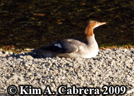 female merganser resting. Photo copyright Kim A. Cabrera 2009.