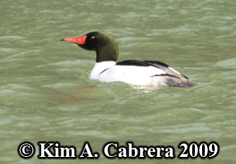 merganser breeding form. Photo copyright Kim A. Cabrera 2009.