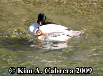 merganser breeding pair. Photo copyright Kim A. Cabrera 2009.