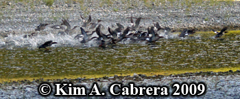 Mergansers taking off. Photo copoyright Kim A. Cabrera 2009.