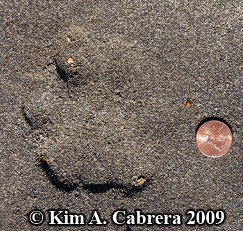 mountain lion track in damp sand left front paw. Photo copyright Kim A. Cabrera 2009.