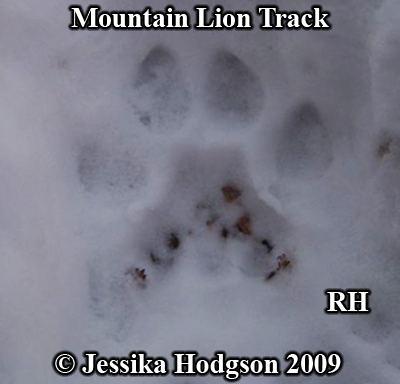 Mountain lion track in snow. Photo copyright Jessika Hodgson 2009.