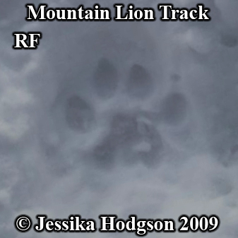 Mountain lion footprint in snow. Photo copyright Jessika Hodgson 2009.