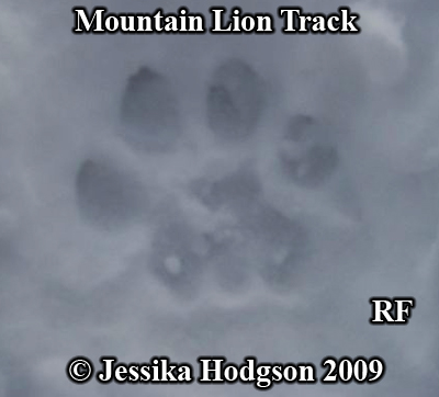 Cougar, puma, or mountain lion track in snow. Photo copyright Jessika Hodgson 2009.