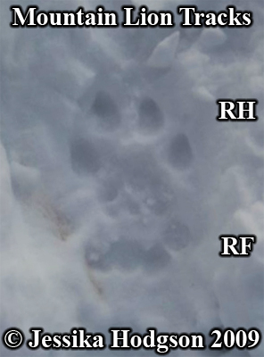 Set of mountain lion or cougar tracks. Photo copyright Jessika Hodgson 2009.