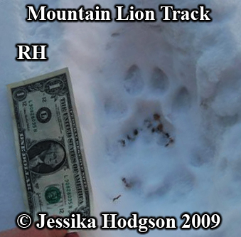 Cougar track with dollar for size comparison.  Photo copyright Jessika Hodgson 2009.