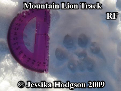 Mountain lion track in snow. Right front foot with protractor for size comparison. Photo copyright Jessika Hodgson 2009.