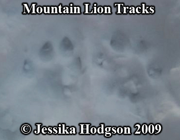 Pair of mountain lion paw prints. Photo copyright Jessika Hodgson 2009.