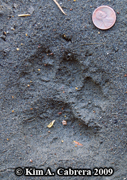 mountain lion track. Photo copyright Kim A.                   Cabrera 2009.
