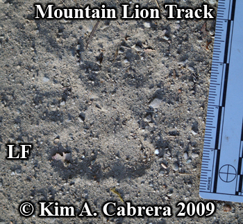 mountain lion track left front paw. Photo copyright Kim A. Cabrera 2009.