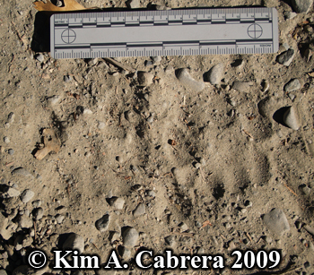 two mountain lion tracks. Photo copyright Kim A.                   Cabrera 2009.