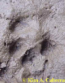 mouse and gray fox track