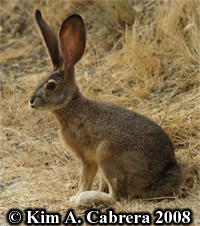 Young jackrabbit. Photo copyright by Kim A. Cabrera. 2008.