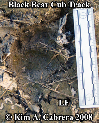 Black bear cub track. Photo copyright by Kim A. Cabrera 2008.