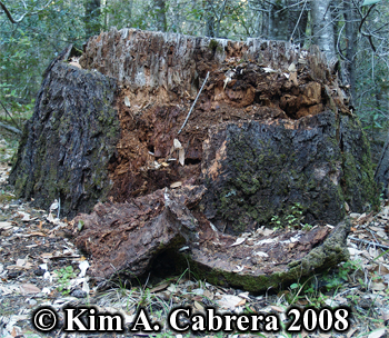 Stump torn open by black bear. Photo copyright Kim A. Cabrera 2008.