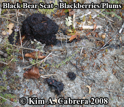 Black bear scat, composed of blackberries, on the edge of a pond. Photo copyright by Kim A. Cabrera 2008.