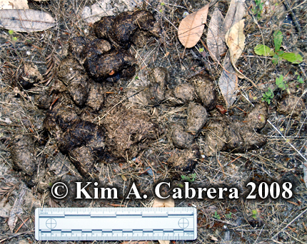 Black bear scat composed of grass. Photo copyright Kim A. Cabrera 2008