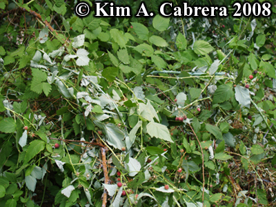 Black bear feeding signs on berry plants. Photo copyright Kim A. Cabrera 2008.
