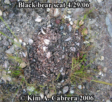 black bear scat composed of seeds. Provided as an aging comparision with earlier photos of the same scat. Photo copyright by Kim A. Cabrera 2006.