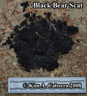 Black bear scat or droppings. Photo copyright Kim A. Cabrera 2008.
