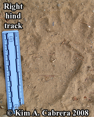 Black bear track. Photo copyright Kim A. Cabrera 2008.