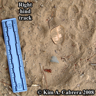 Black bear footprint. Photo copyright Kim A. Cabrera 2008.