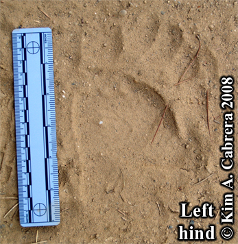Black bear pawprint. Photo copyright Kim A. Cabrera 2008.