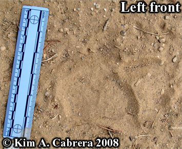 Black bear front track. Photo copyright Kim A. Cabrera 2008.