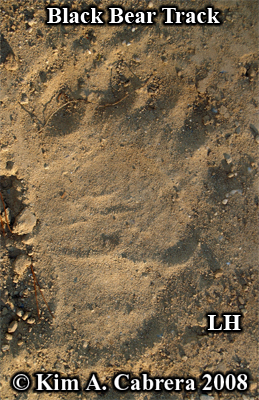 Black bear left hind track. Photo copyright by Kim A. Cabrera 2008.