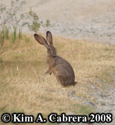 Blacktailed jackrabbit grooming. Photo copyright by Kim A. Cabrera 2008.