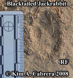 Right front track of a jackrabbit. Photo copyright by Kim A. Cabrera 2008.